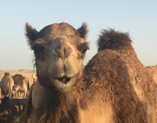 Camel farm in the Al Khatim desert