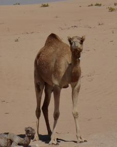 Camel at Al Khatim desert