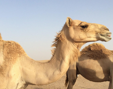 Camel farm in the desert